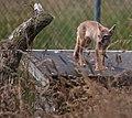 Corsac fox alert and watching (9295909520).jpg