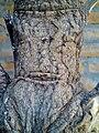 Corteza de un árbol joven de Nancinte en Nicaragua.jpg