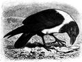 Corvus scapulatus (Brehms Tierleben).png