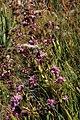 Corymbium congestum Rebelo 2.jpg