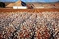 Cotton Field (33995576796).jpg