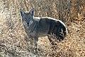 Coyote on Lower Klamath NWR (5711528640).jpg