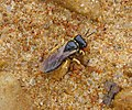 Crabronid wasp carrying prey. Lindenius sp. probably. (32206814015).jpg