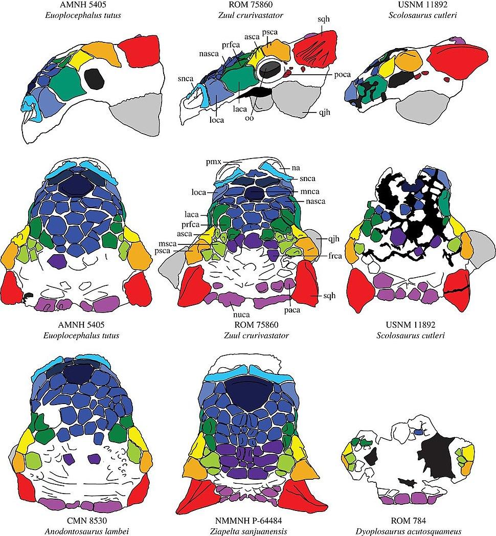 Cranial ornamentation of ankylosaurins