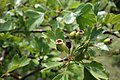 Crataegus pentagyna, Rosaceae 01.jpg