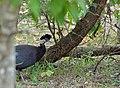 Crested Guineafowls (Guttera edouardi) (11770569544).jpg