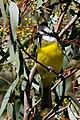 Crested Shrike-tit (Falcunculus frontatus) (9413013053).jpg