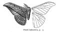 CriculaTrifenestrata.png