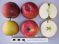 Cross section of Galeuse (Finistere), National Fruit Collection (acc. 1948-317).jpg
