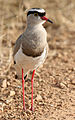 Crowned Lapwing (Vanellus coronatus) Mikumi.jpg