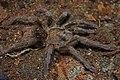 Cuban Bronze Tarantula (Phormictopus auratus) (8573971659).jpg