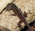Cuban Brown Anole Anolis sagrei sagrei. ( mites around eyes^) - Flickr - gailhampshire (1).jpg