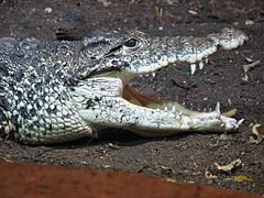 Cuban Crocodile Image 003.jpg