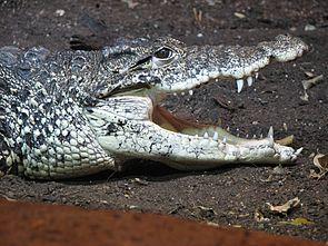 Cuban Crocodile Image 003.jpg