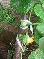 Cucurbita moschata (zapallo espontáneo) flor masculina M11 antesis pétalos rotos después de la lluvia.JPG
