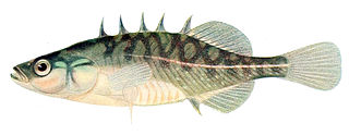 Brook stickleback species of fish