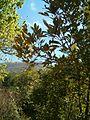 Cunonia capensis KirstenboshBotGard09292010C.JPG