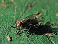 Curico, the fly (9378843083).jpg