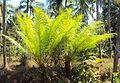 Cycas circinalis 04.JPG
