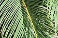 Cycas revoluta 29zz.jpg