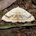 Cyclophora.annularia.8248.jpg