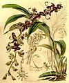 Cycnoches egertonianum (as Cycnoches ventricosum var. egertonianum) - Curtis' 70 (N.S. 17) pl. 4054 (1844).jpg