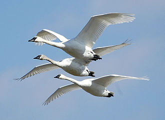 Trumpeter swan - Three flying in Missouri