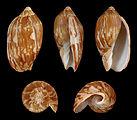 Cymbiola vespertilio mitis 01.JPG