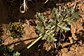 Cymopterus glomeratus - Flickr - aspidoscelis (6).jpg