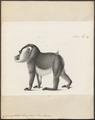 Cynocephalus leucophaeus - 1809-1845 - Print - Iconographia Zoologica - Special Collections University of Amsterdam - UBA01 IZ19800029.tif