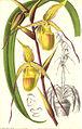 Cypripedium longifolium1.jpg