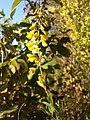 Cytisus nigricans (subsp. nigricans) sl17.jpg