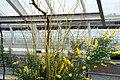 Cytisus x spachianus 10zz.jpg