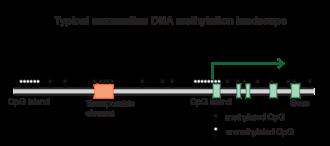 DNA methylation - Typical DNA methylation landscape in mammals
