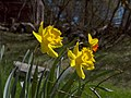 Daffodils at last. Narcissus (5825822915).jpg