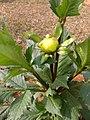 Dahlia flower buds 2.jpg