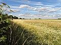 Daisy Strewn Poppy Seed Field - geograph.org.uk - 29308.jpg