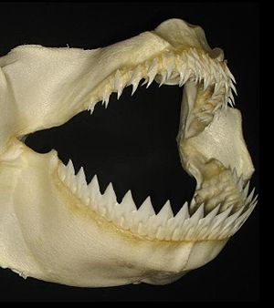 Kitefin shark - The lower teeth of the kitefin shark form a continuous cutting edge, enabling it to take bites out of larger animals.