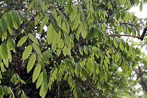 Dalbergia retusa - Branches and leaves of Dalbergia retusa