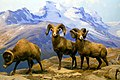 Dall Sheep Ovis Dalli (40902724).jpeg