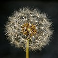 Dandelion up close (7004621012).jpg