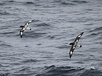 Daption capense -near Clarence Island, Southern Ocean -two flying-8.jpg