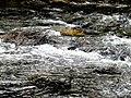 Dark Water Black Mountain Campground Pisgah Nat Forest NC 4428 (37894600486).jpg