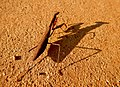 Dark brown mantis and shadow - 2.jpg
