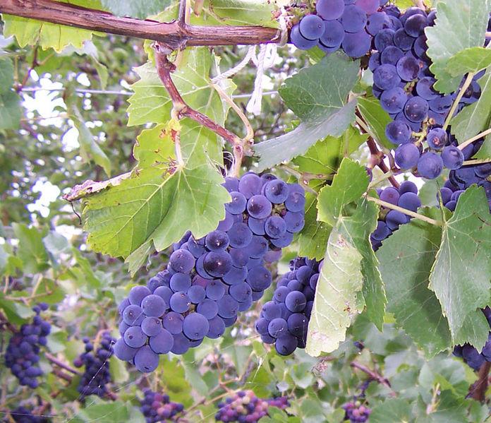 File:Dark wine grapes.jpg