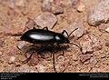 Darkling beetle (Tenebrionidae, Eleodes sp.) (29470797833).jpg