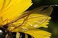 Dasysyrphus.venustus.wing.detail.jpg