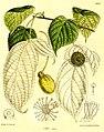 Davidia involucrata vilmoriniana 138-8432.jpg