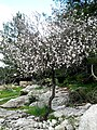 Dayr Aban Almond Tree.JPG