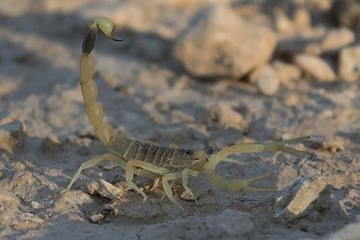 Deathstalker (Leiurus quinquestriatus) 3